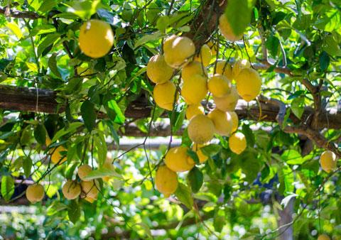 lemon_tour_amalfi_coast
